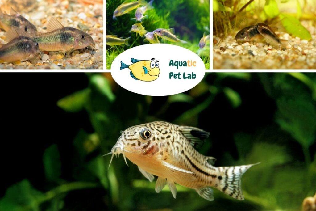 Corydoras Start a fish tank