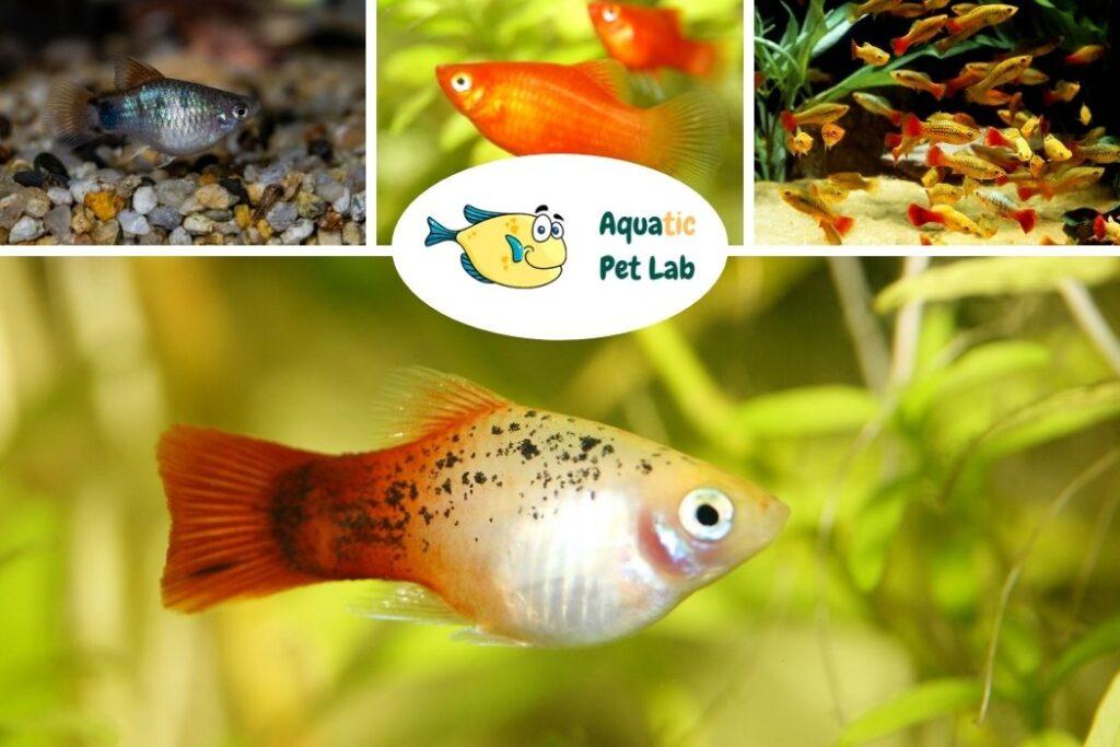 Platy Start a fish tank