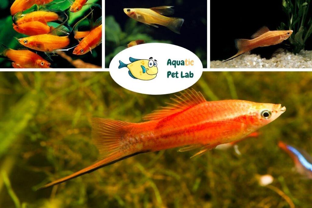 Swordtail Start a fish tank