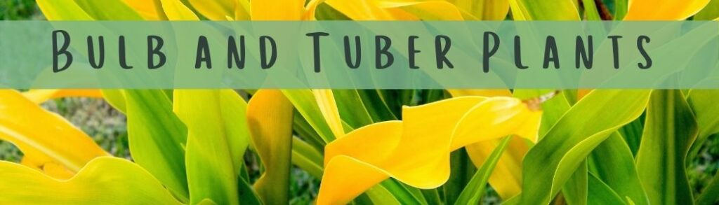 How To Plant Bulb and Tuber Plants