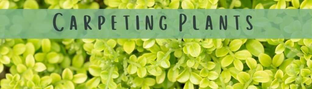 How To Plant Carpeting Plants