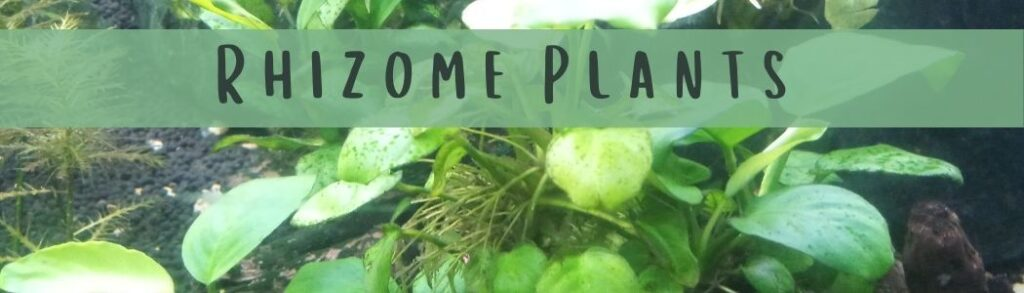 How To Plant Rhizome Plants