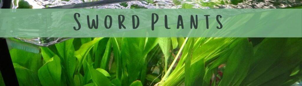 How To Plant Sword Plants